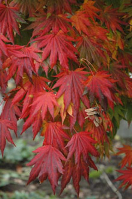 Acer shirasawanum 'Palmatifolium' Fullmoon Maple