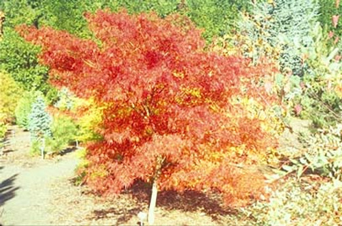 Acer palmatum dissectum 'Seiryu' Cutleaf Upright Japanese Maple Tree
