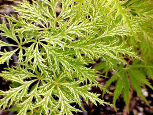 Filigree Lace Green Weeping Cutleaf Japanese Maple
