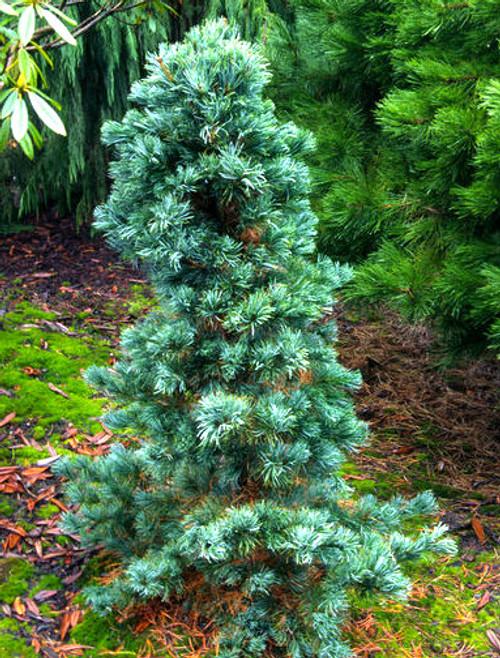 Pinus flexilis ' Cesarini Blue '