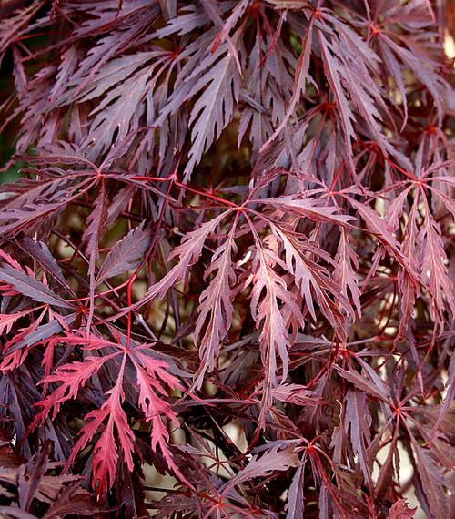 Acer palmatum dissectum 'Garnet' Weeping Cutleaf Japanese Maple