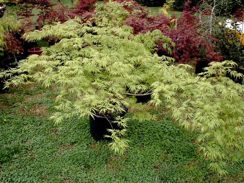 Acer palmatum dissectum 'Germaines' Gyration' weeping Japanese Maple