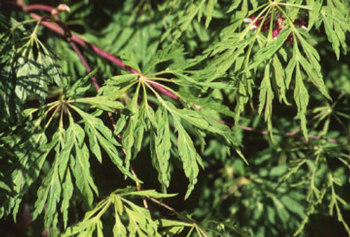 Acer Japonicum Green Cascade Fullmoon Maple Kigi Nursery