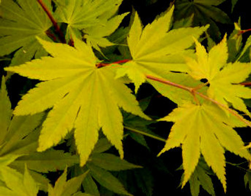 Acer Shirasawanum Sensu Moving Fan Shirasawas Maple Kigi Nursery