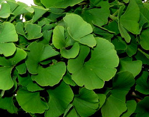 Ginkgo biloba 'Mariken' Maidenhair Tree
