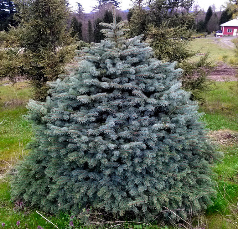 Picea pungens 'Sabines' Dwarf Colorado Spruce full grown