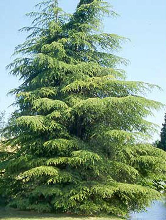 Cedrus libani var. Stenocoma Cedar of Lebanon