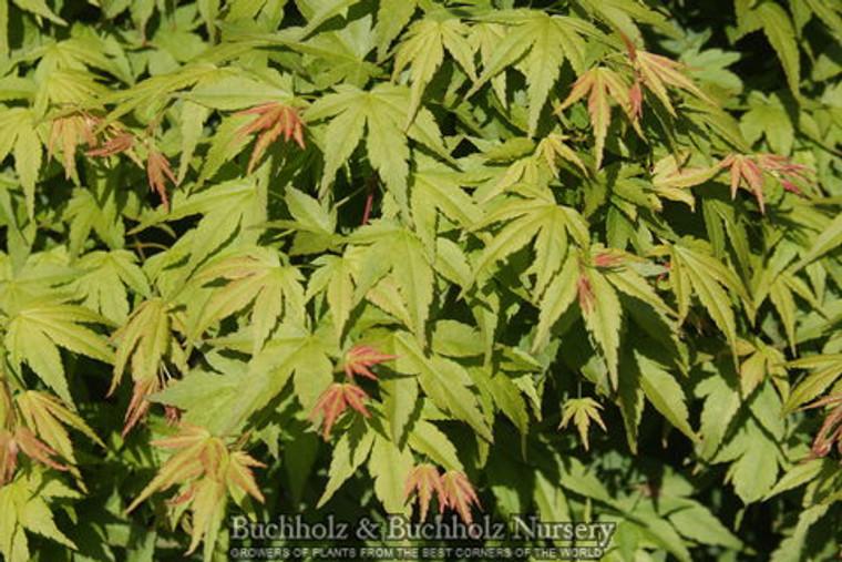 Acer palmatum Jiro shidare Weeping Japanese Maple Tree