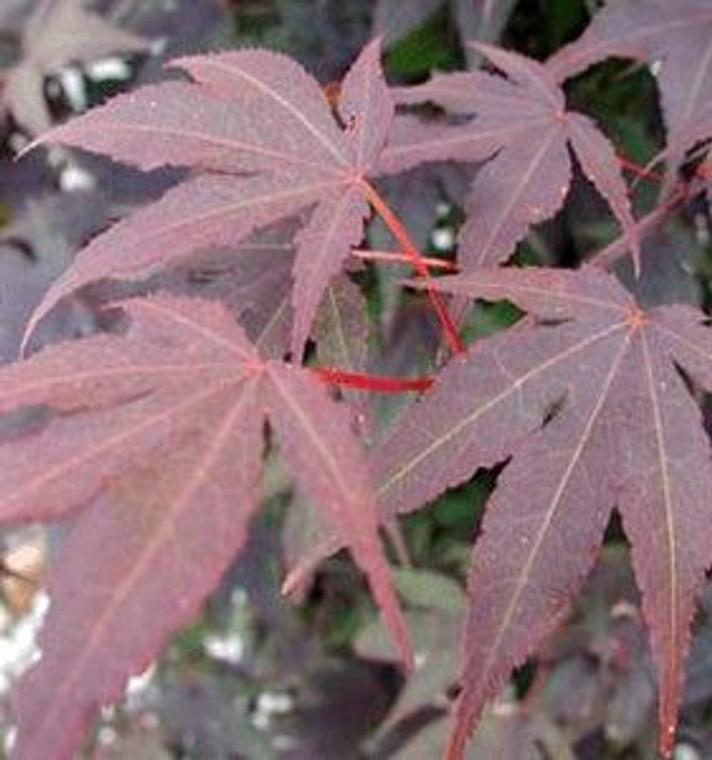 Acer palmatum 'Oshio beni' Red Leaf Japanese Maple Tree