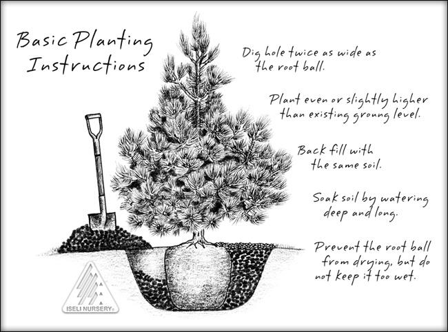 iseli-plantingconifer2016.jpg