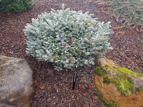 Abies Koreana Kohouts Icebreaker Miniature Korean Fir Kigi Nursery