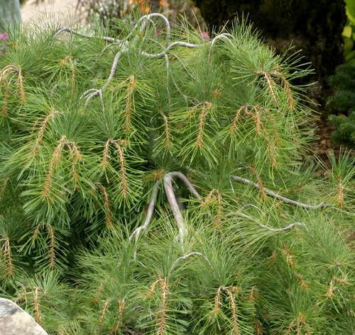 Pinus Strobus Stony Brook Weeping Eastern White Pine Kigi Nursery
