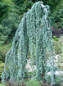 Weeping Blue Atlas Cedar Buy At Kiginurserycom