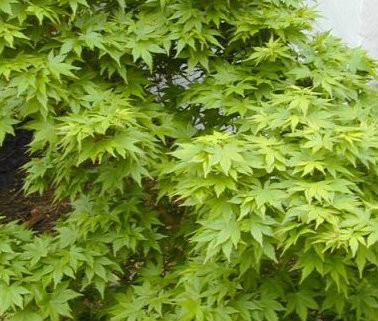 Acer Palmatum Aoba Jo Japanese Maple Tree Dwarf Kigi Nursery