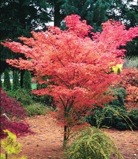 Acer Palmatum Ao Kanzashi Japanese Maple Tree Kigi Nursery