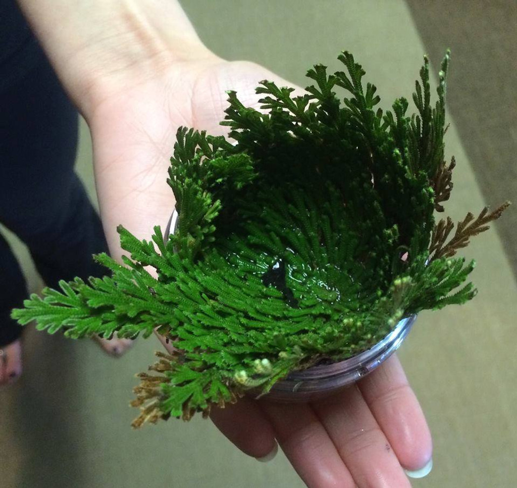 Rose of Jericho for Money, Success, Wishes, Blessings & More