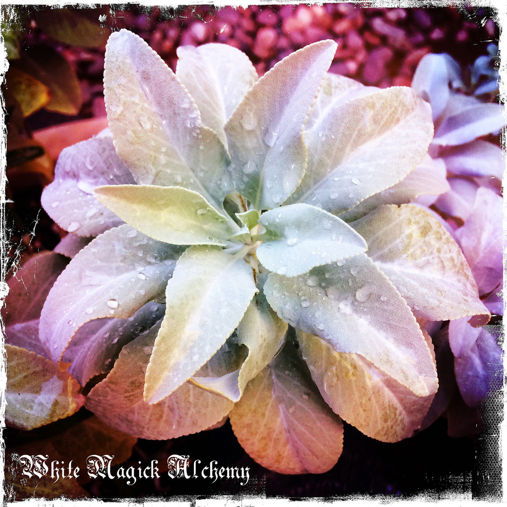 California White Sage Wild Crafted from Pt. Reyes Seashore