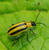 VivaTrap! Cucumber Beetle Trap and Lure (2 Pack)