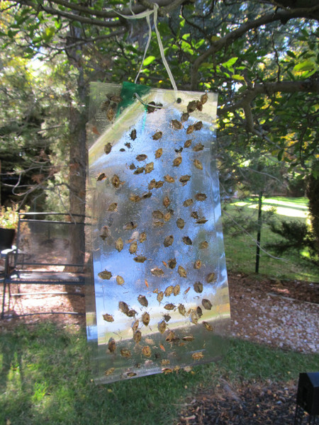 Clear Sticky Trap + Stink Bug Combo Lure