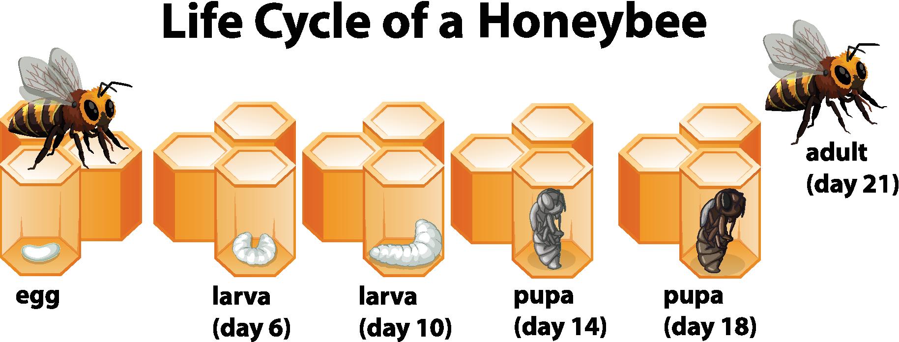 honeybee-lifecycle.png