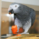 The African Grey Parrot: Proper Diet and Feeding