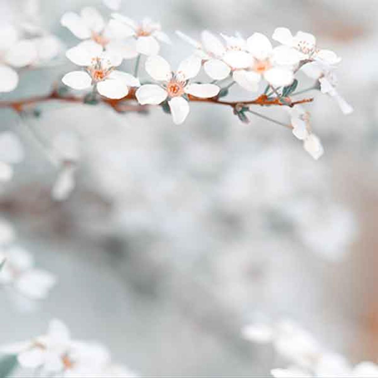 White Blossom Bokeh