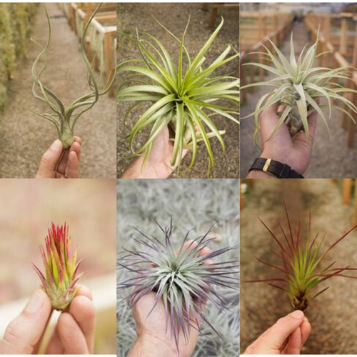 Tillandsia Airplants