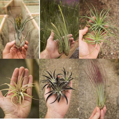 Tillandsia Airplants (Medium & Hybrid)