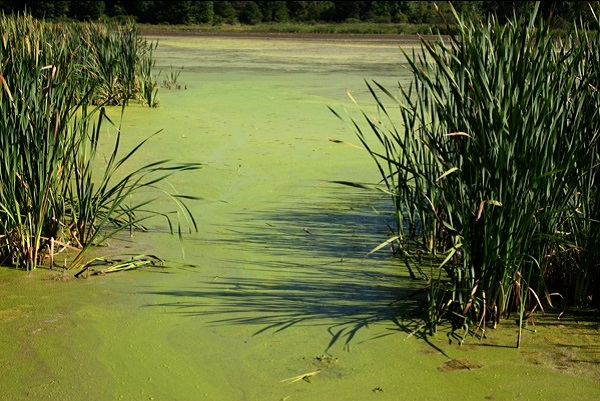 lake-algae-pond.jpg