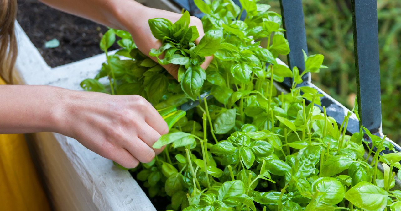 Health Beneficial Herbs you Can Grow at Home