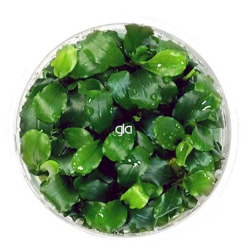 Bucephalandra Green Wavy (GLA Tissue Culture)