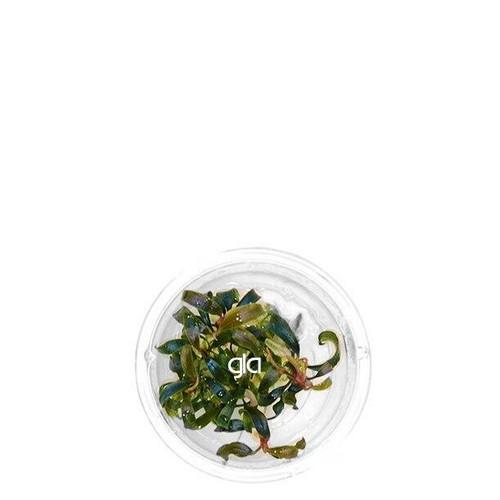 Bucephalandra Kedagang Japan (GLA Tissue Culture) (XS)