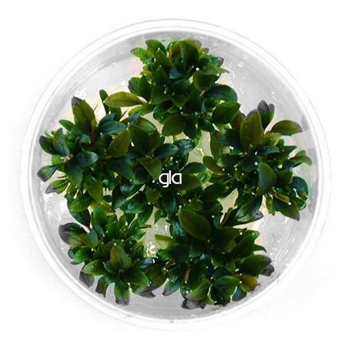 Bucephalandra Red Mini (GLA Tissue Culture)