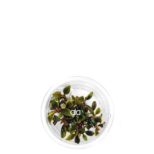 Bucephalandra Red Mini (GLA Tissue Culture) (XS)