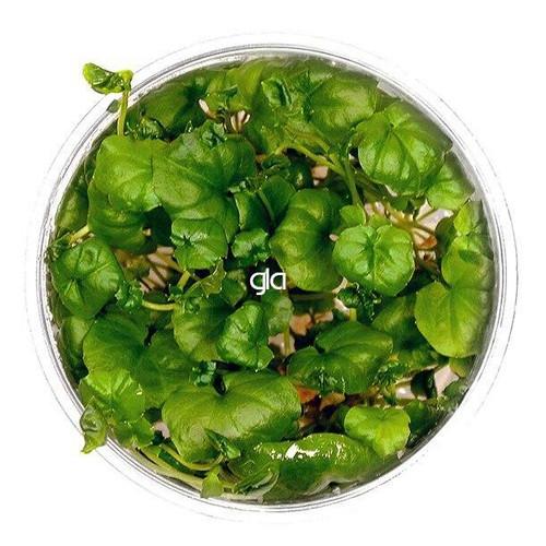 Cardamine Lyrata Vietnam (GLA Tissue Culture)