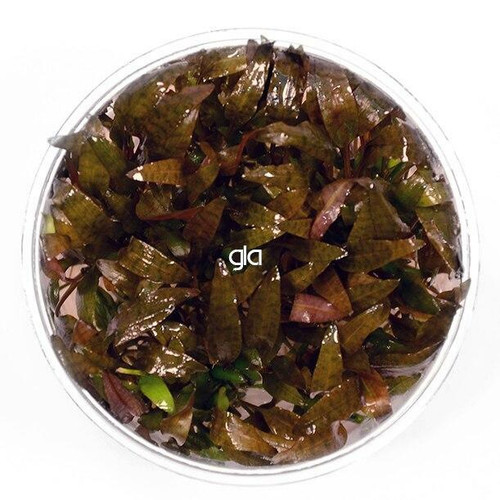 Cryptocoryne Wendtii Brown (GLA Tissue Culture)
