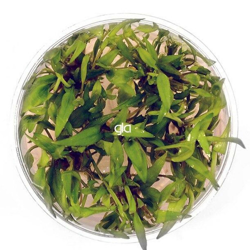 Cryptocoryne Wendtii Green Gekco (GLA Tissue Culture)
