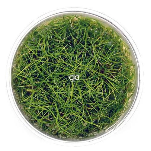 Eleocharis Acicularis Mini (Dwarf Hair Grass) (GLA Tissue Culture)