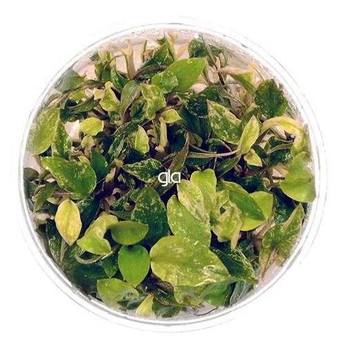 Lagenandra Meeboldii Red Round (GLA Tissue Culture)