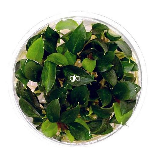 Piptospatha Ridleyi (GLA Tissue Culture)