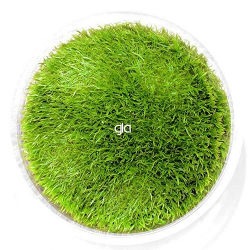 Utricularia Graminifolia (UG) (GLA Tissue Culture)