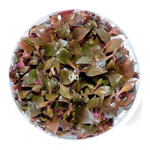 Alternanthera Reineckii Mini (GLA Tissue Culture)