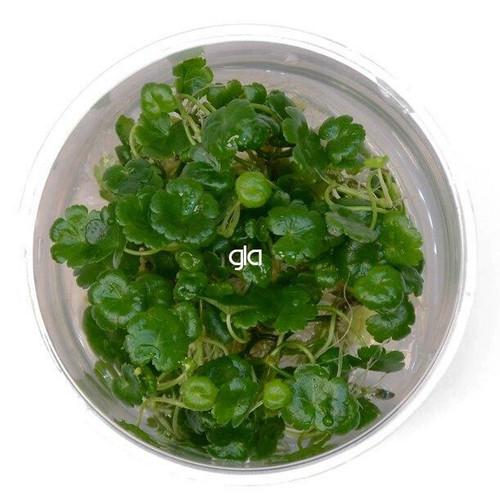 Hydrocotyle Sibthorpioides (GLA Tissue Culture)