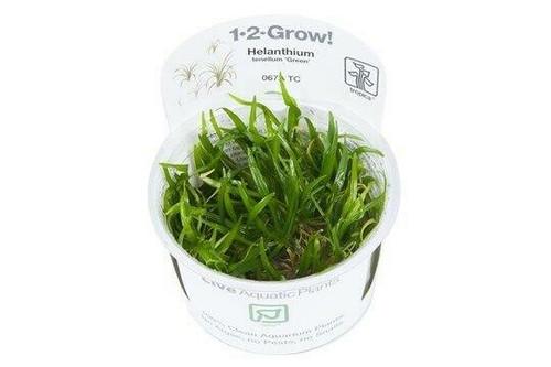 Helanthium Tenellum Green (Tropica Tissue Culture)