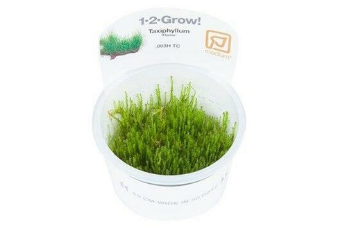 Taxiphyllum Flame Moss (Tropica Tissue Culture)