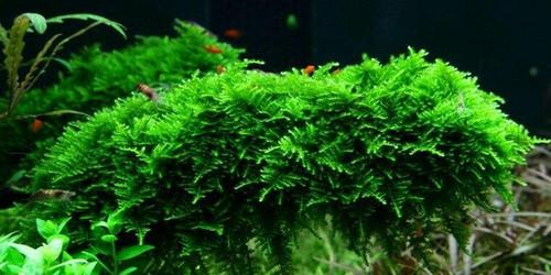 Vesicularia Dubyana Christmas Moss (Tropica Tissue Culture)