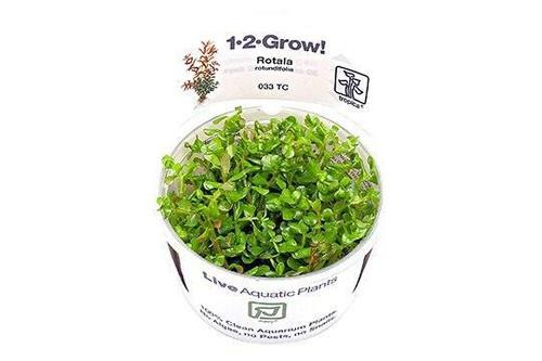 Rotala Rotundifolia (Tropica Tissue Culture)