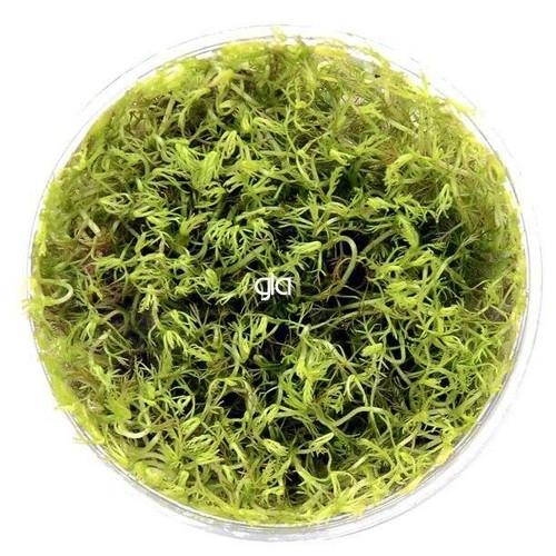 Myriophyllum Matogrossense Red (GLA Tissue Culture)