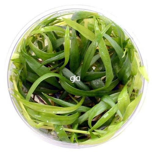 Echinodorus Madalengensis (GLA Tissue Culture)