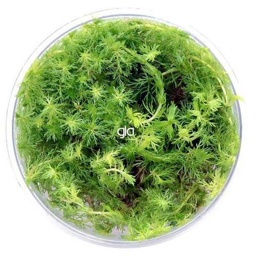 Myriophyllum Elatinoides Mini (GLA Tissue Culture)